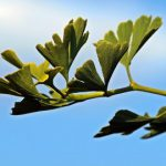 gingko helps eye health