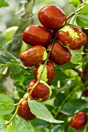 benefits of jujube fruit